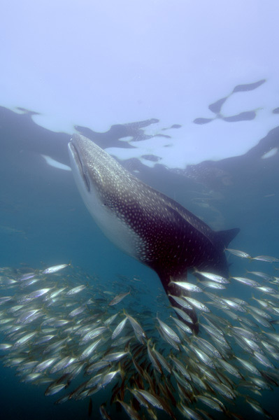 whale shark moving