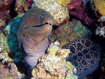 Sharm06 - Giant Moray