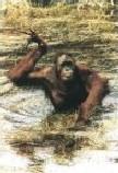 Orangutan Swimming