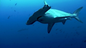 Review: Sharkwater Film scuba profiles reviews  watson stewart sharkwater shark fin soup sea shepherd poacher hammerhead galapagos costa rica