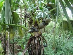 Seychelles - Coco de Mer