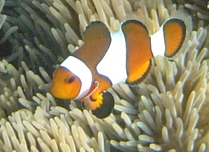 Naturalist Diving   The Art of Naked Diving? scuba education training  wright symbiosis specialty nemo naturalist naked lucie ecology clown fish buoyancy anemone