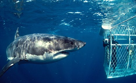 Great White Sharks: like to travel and do not want to eat you freediving  news freediving