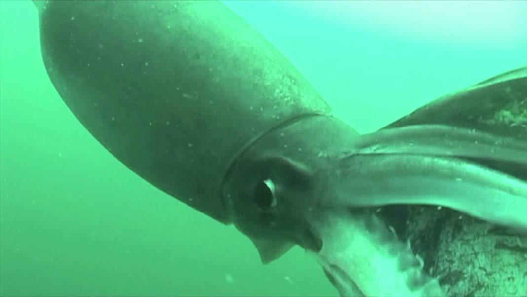 Giant Humboldt Squid