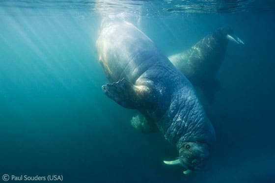 Paul Souders of U.S.A. captures a delight walrus on camera