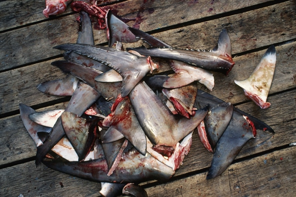 China Bans Shark Fin Soup at State Functions 2