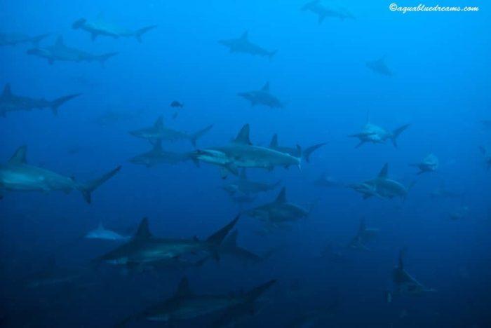 Schooling Hammerheads Galapagos Sky