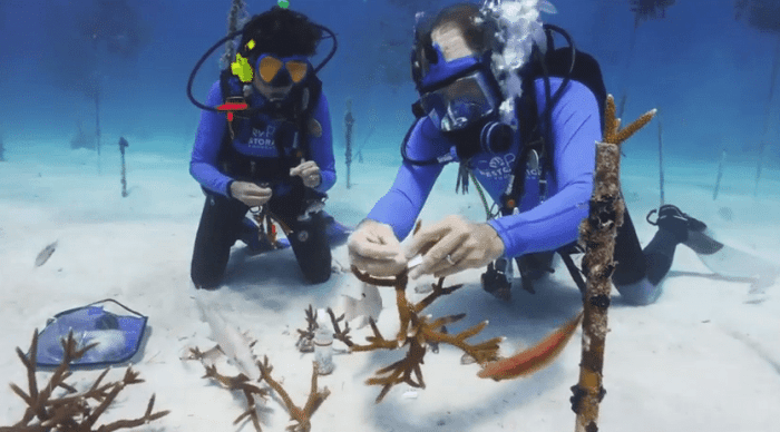 New Curacao Coral Reef Restoration Effort Begins In May 2
