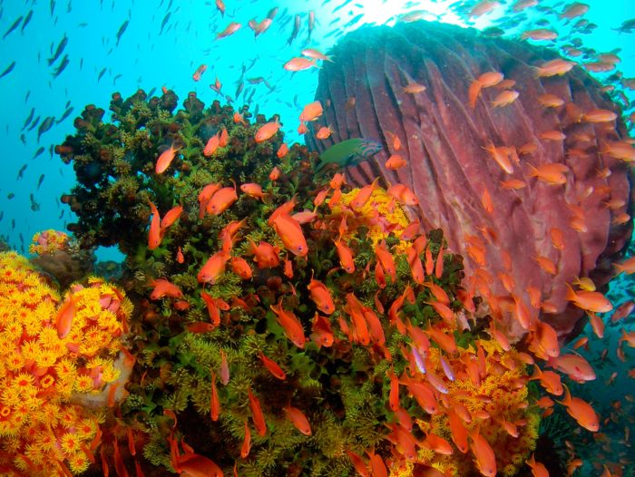 Anthias abound on Wakatobi Reef2_photo by Steve Miller