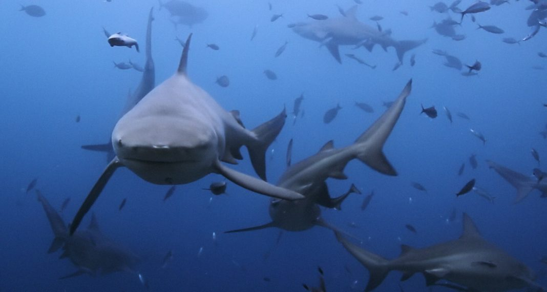Of Shark And Man - Bull Sharks