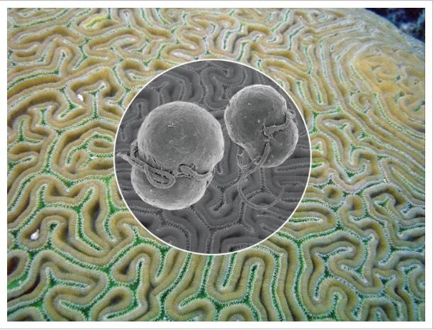 Symbiodinium trenchii graphic Psuedodiploria strigosa credit Dr. Todd LaJeunesse