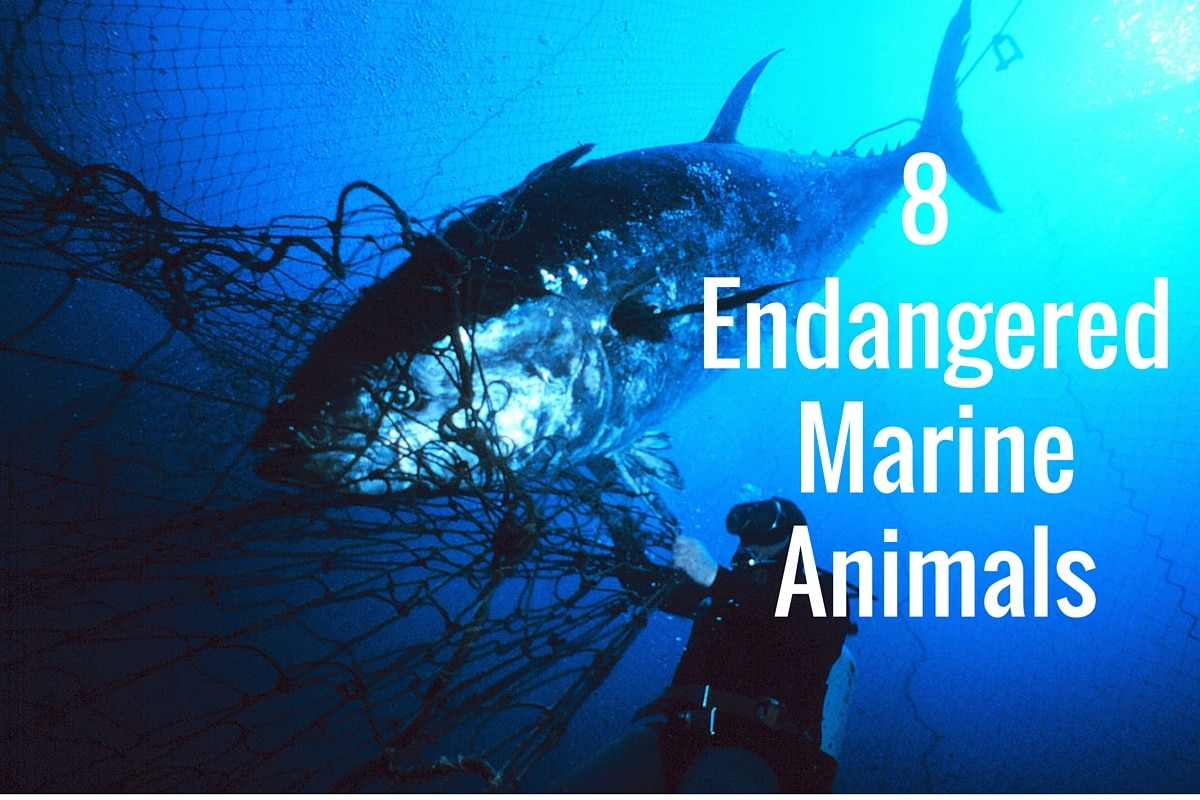 Image of: Critically Endangered Endangered Marine Animals Deeperbluecom Endangered Marine Animals Deeperbluecom
