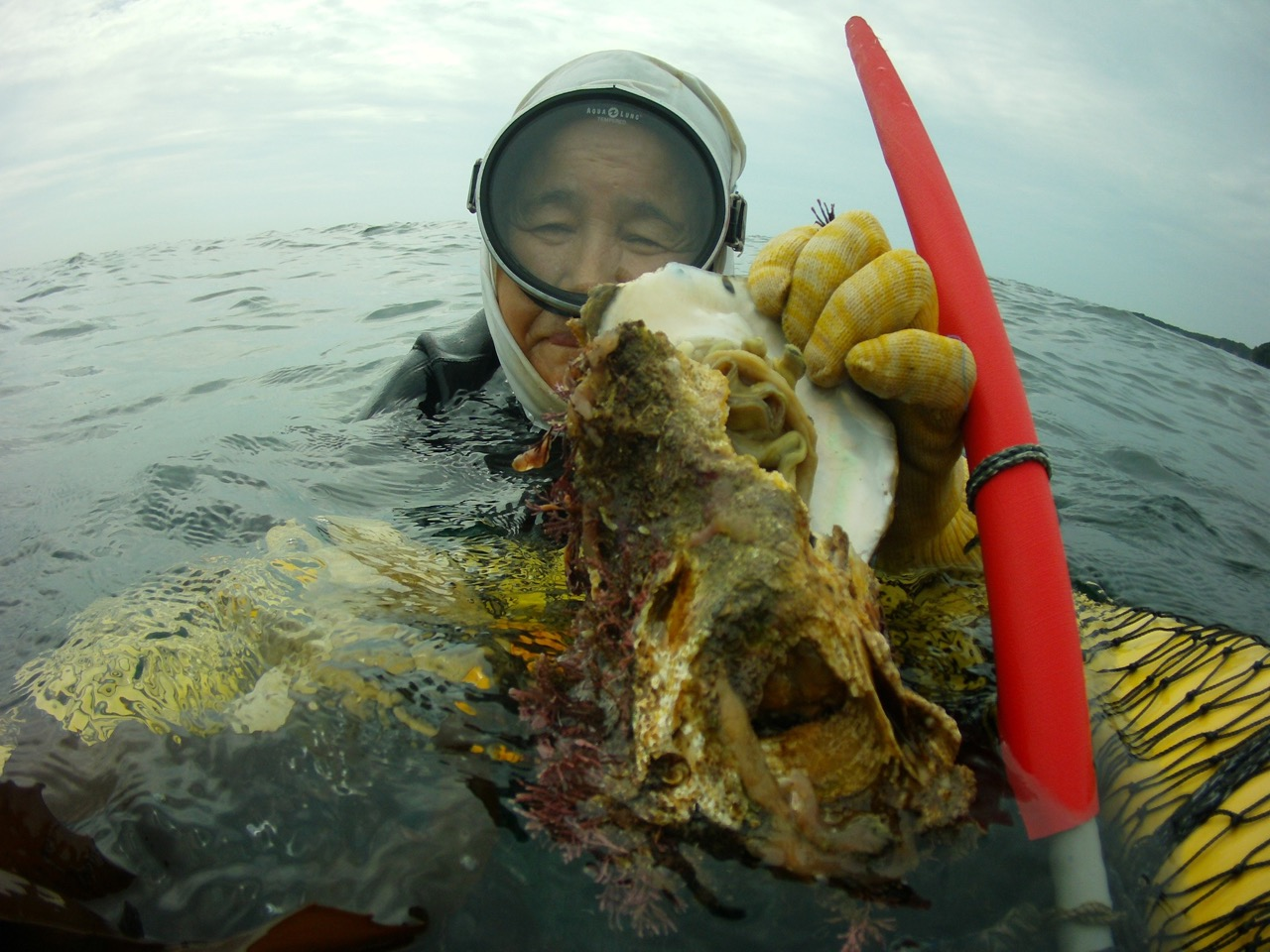 These are the large wild oysters (itabogaki) that are gathered in summer months.