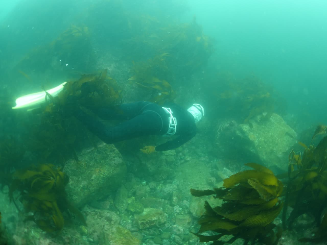 An Ama in action, scanning the benthic community for the hiding spots of abalone.