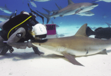 Activists Warn Against Florida Shark Fishing Beginning January 1, 2016 (photo credit: © Frazier Nivens, Ocean Imaging Studios, Used with Permission)