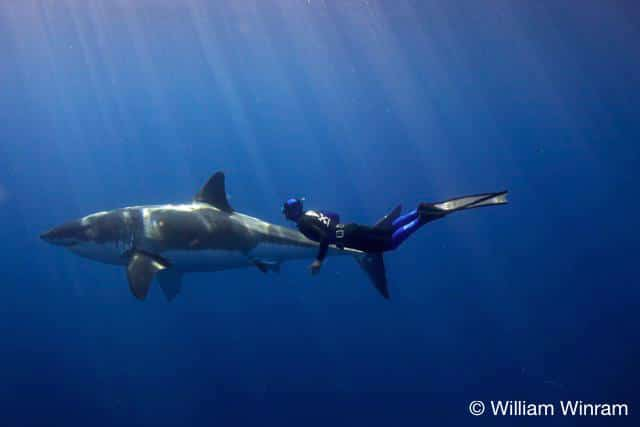 William Winram captures Pierre Frolla freediving with a great white shark - Photo Courtesy of William Winram