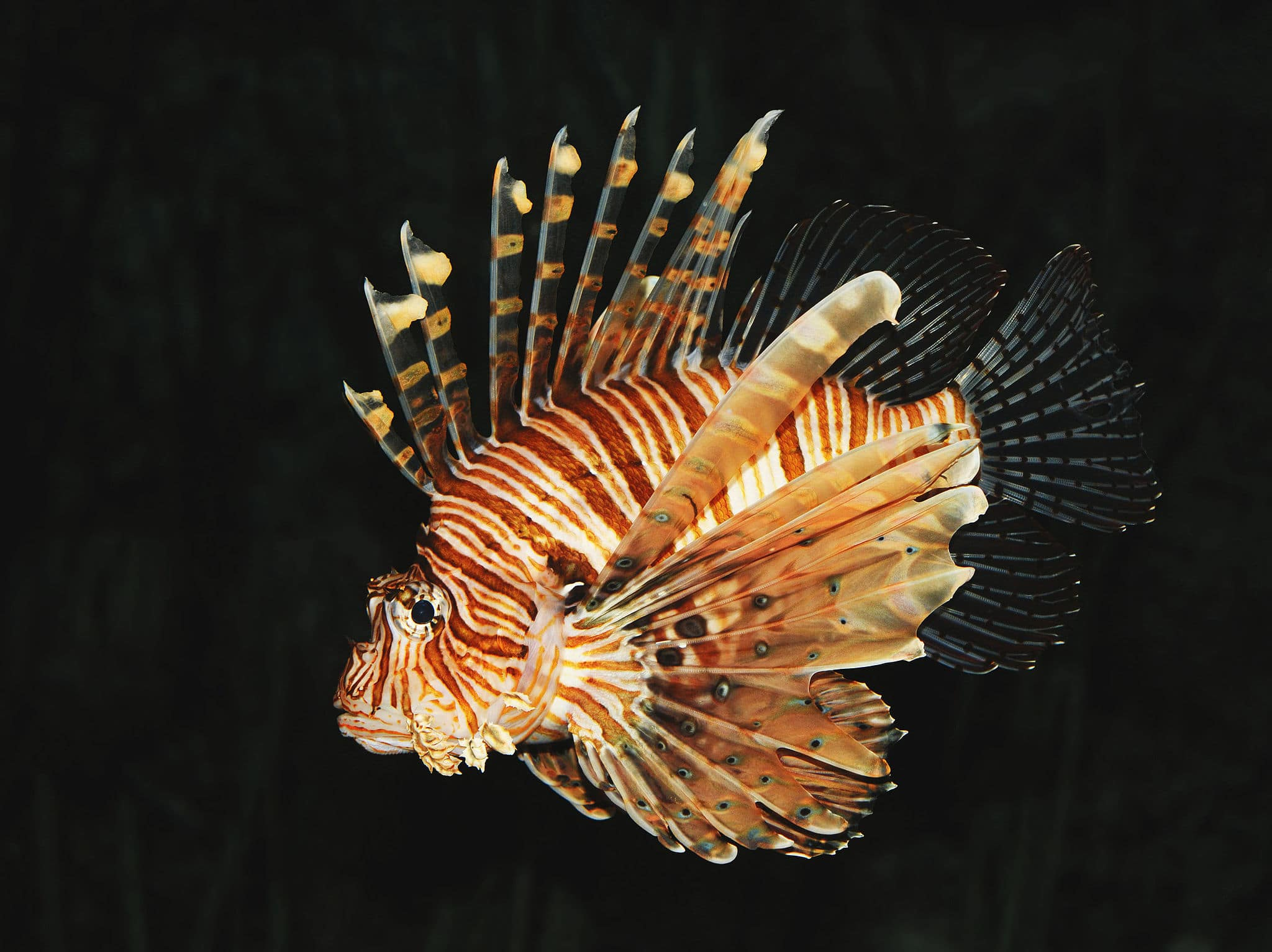 Lionfish if you can't beat it - Eat it. Image by Michael Gäbler