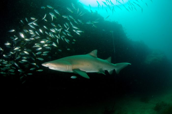 Gray Nurse Shark at Magic Point Sydney.  Photo by  Klaus Stiefel https://flic.kr/p/dFCLct