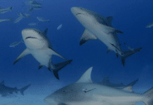 Pro Dive International Announces Second 'Shark School Riviera Maya' Experience