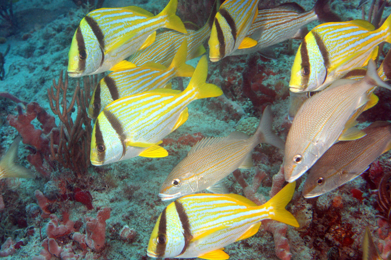 drift diving Reef fish facing a current Photograph by Kevin Bryant
