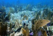 Reefs in Trouble, Bleached plate corals and Sea Fans on Molasses Reef, Key Largo Photograph by Matt Kieffer https://www.flickr.com/photos/mattkieffer/