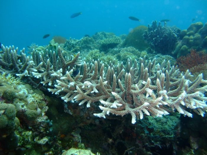 Staghorn Coral (with evidence of Coral reefs bleaching ) Philippines Photograph by SarahDepper