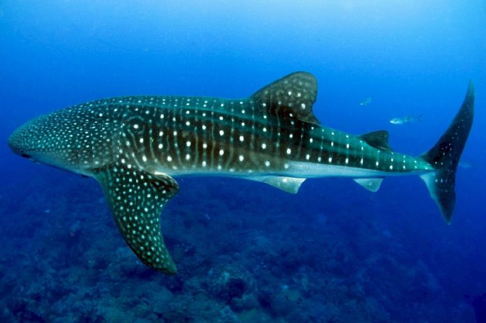RAID International has launched a Whale Shark specialty course.