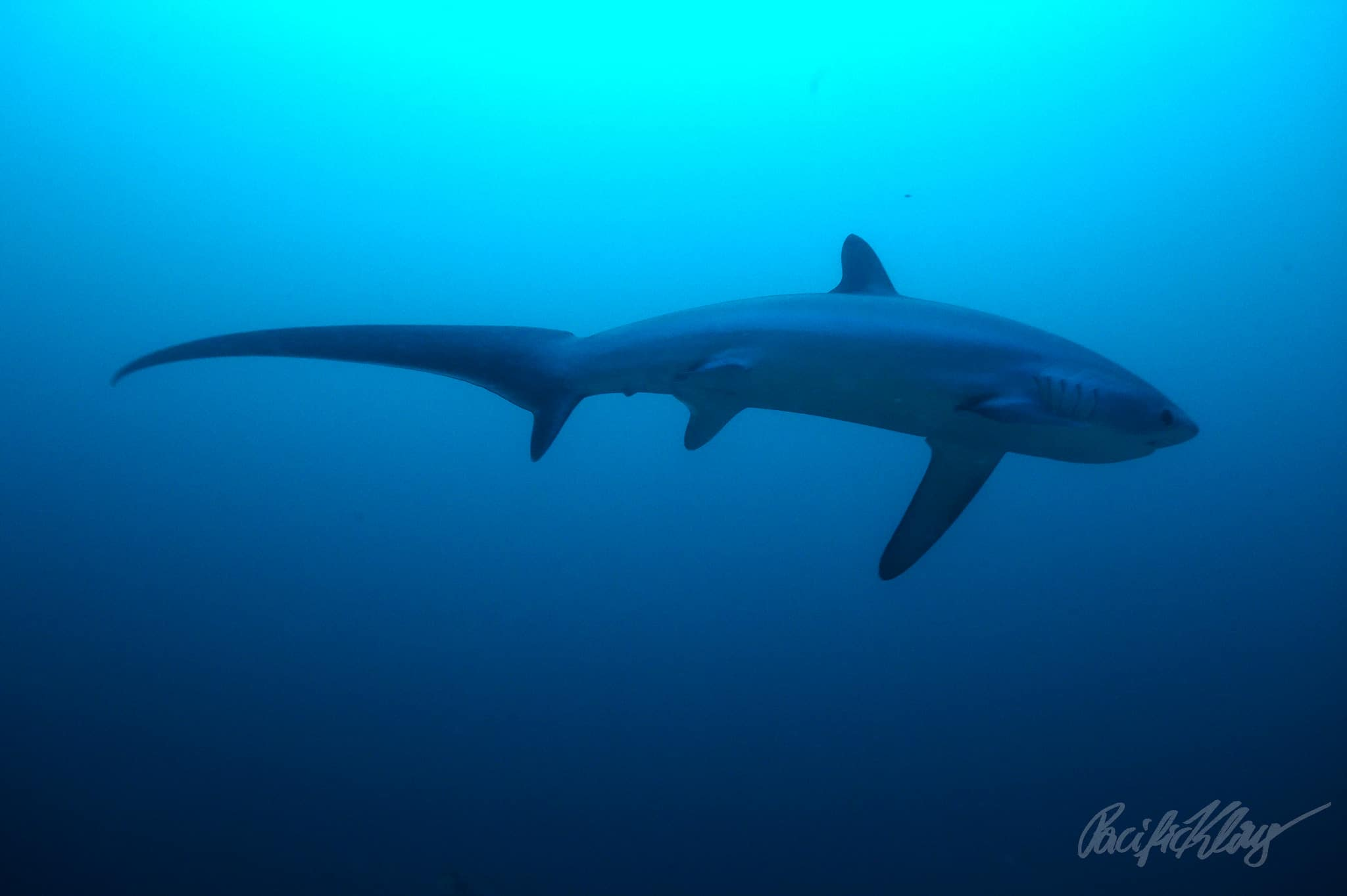 A thresher shark at Monad Shoal, Philippines. by Klaus Stiefel