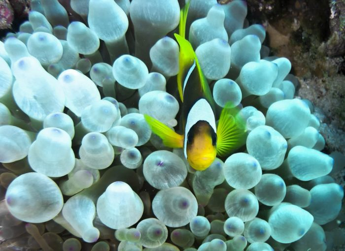 Clown Fish, Egypt