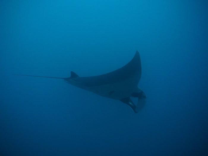 Manta Ray, South Africa