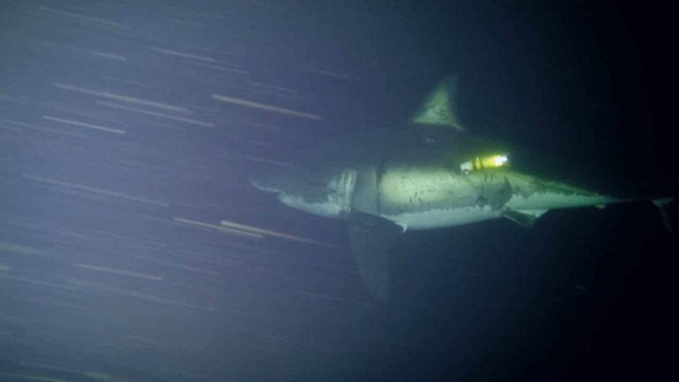 [VIDEO] Great White Naps for First Time on Camera