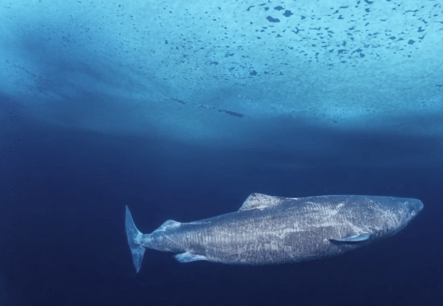 Greenland Sharks Can Live To Be Ridiculously Old