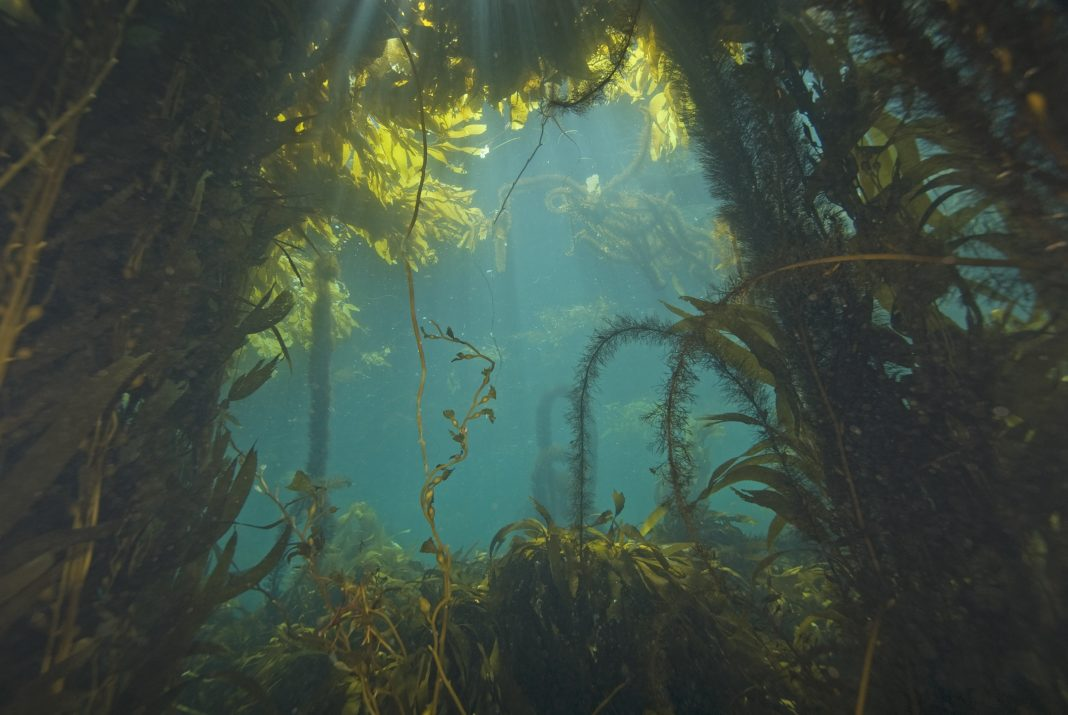 Seaweed at California Kelp Forest