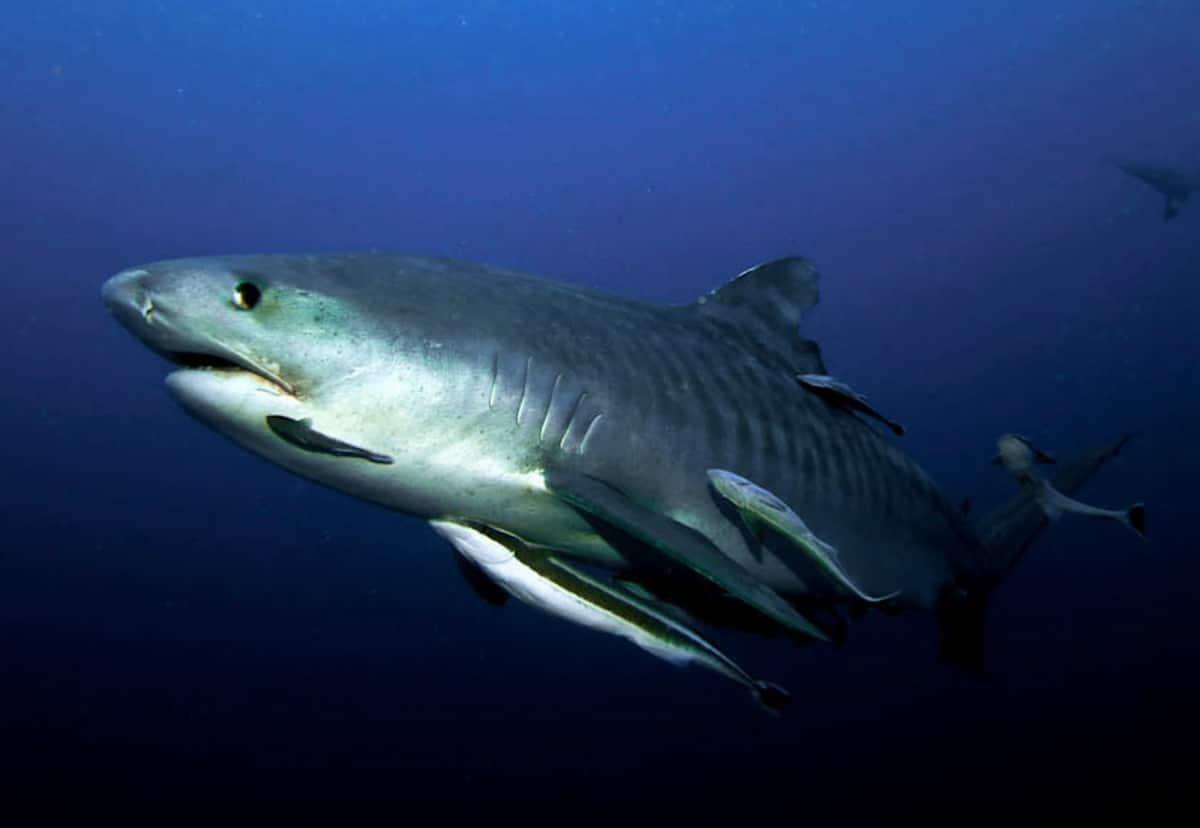 Tiger Shark, Aliwal Shoal (Jessica Macdonald)