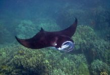 Manta Ray, Hawaii