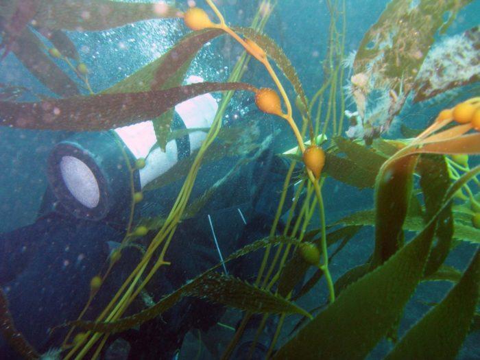kelp entanglement hazard