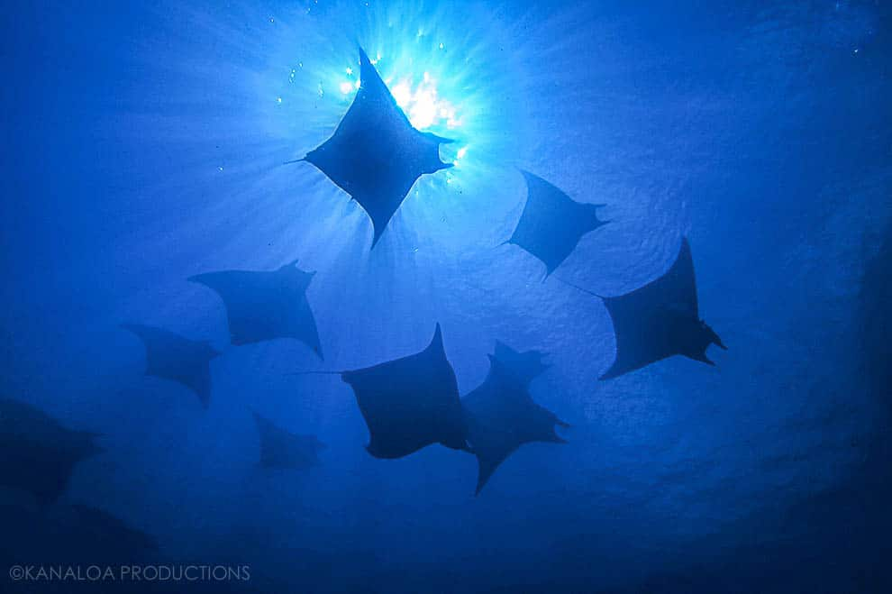 Exploring Princess Alice Bank Mobula Rays
