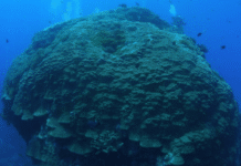 'Big Mushroom' Coral Off Taiwanese Coast Toppled By Typhoon