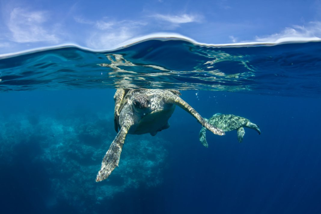 Sea Turtles Mating