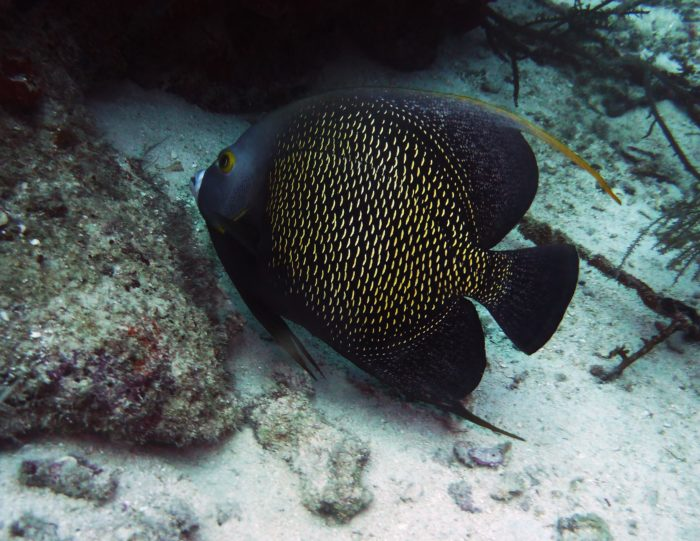 Plenty of Angelfish can be found at Flying Reef.