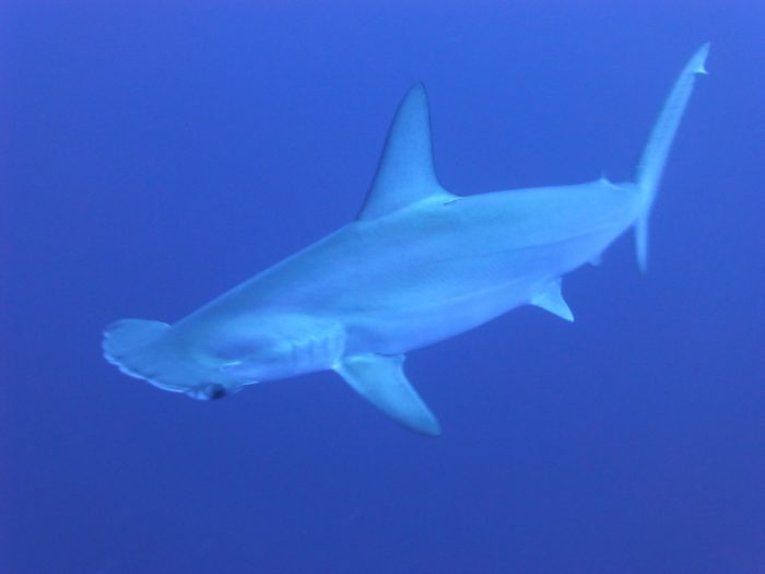 Due to the depth and distance from land, The Sisters dive site is home to Hammerhead Sharks.