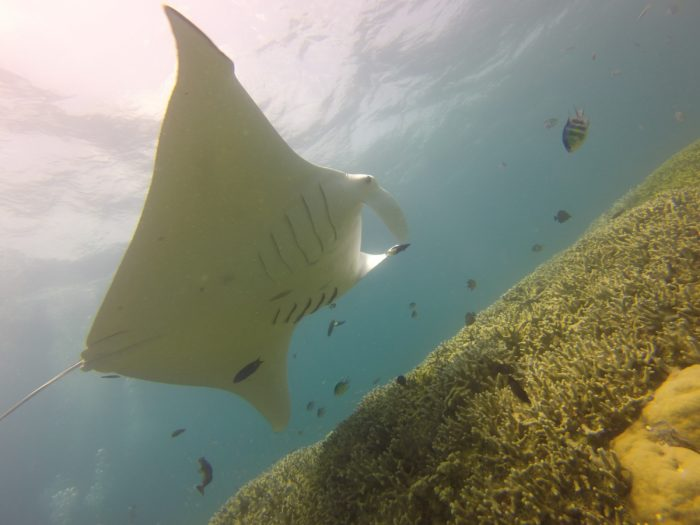 Majestic Manta Rays are found throughout the year at the Mi'il Channel in Yap