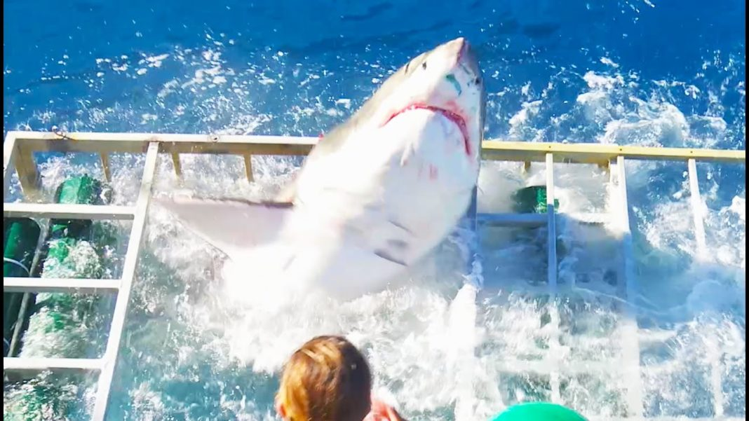 Video: Watch The Moment A Great White Shark Breaches Diving Cage 1