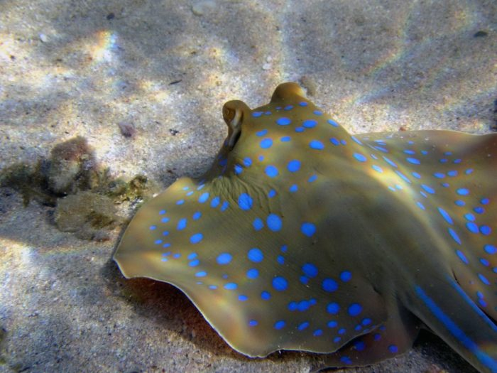 The Four Brothers Dive Site is home to a number of Blue Spotted Rays.