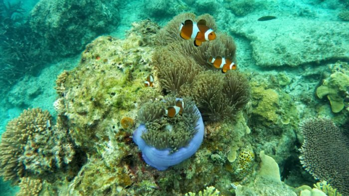 Clown Fish can also be found at Broken Rock Dive Site