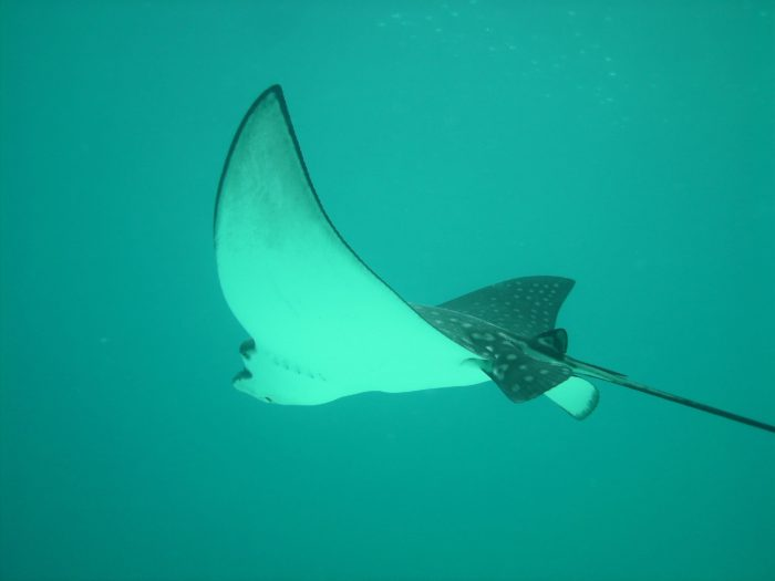 Majestic Eagle Rays can be found gliding above divers at the sites surrounding French Cay.