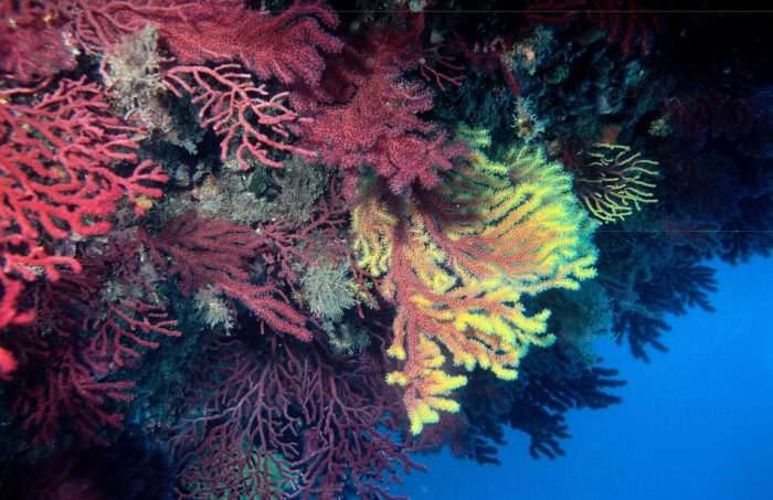Gorgonian Sea Fans are so colorful and a Gorgonian Forest is just beyond all expectation.