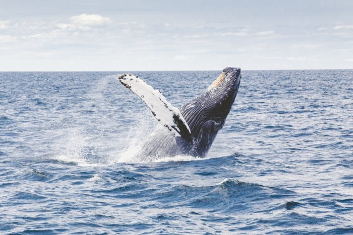 Migrating Humpback Whales pass through the Columbus Passage during the winter months.