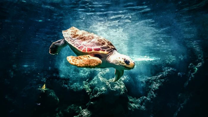 You'll find 5 out of the 7 marine turtle species in the waters surrounding Madagascar.