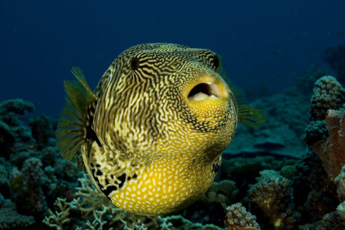Not only will you find a number of sharks at this dive site, you'll also find impressive Pufferfish.
